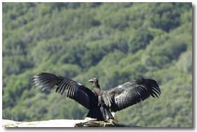 Condor Californiano