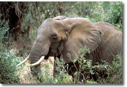Elefante Africano en la Selva