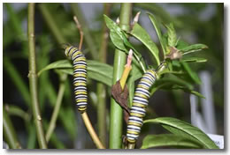 Orugas de Mariposa Monarca