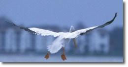 Pelicano Blanco Norteamericano