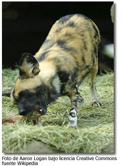 Los Perros Salvajes de Africa