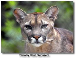 Puma del Este