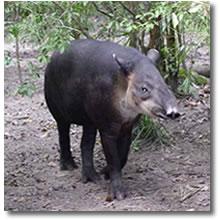 Tapir Norteño